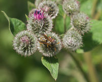 Wasp on a blooming burdock macro. Wasp on a blooming wooly burdock macro Stock Photo