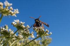 Wasp on blooming plant Royalty Free Stock Images