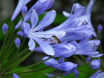 Wasp on a blue flower Royalty Free Stock Image