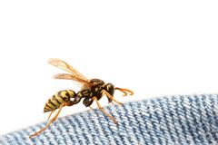 Wasp on blue jeans royalty free stock images