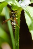 Wasp on the branch. Wasp on the greee branch Royalty Free Stock Photo