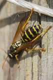 Wasp on branch Stock Image