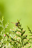 Wasp on the branches of the tree thuja Stock Image