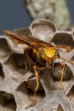 Wasp bubble Royalty Free Stock Photos