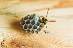 Wasp building a hive Royalty Free Stock Image