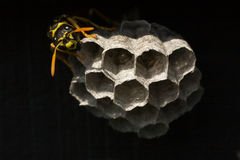 Wasp building a nest Stock Images