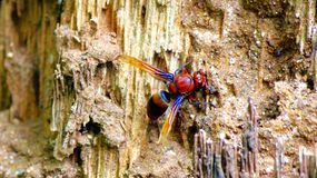 Wasp building it's mud nest Royalty Free Stock Image