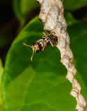 Wasp builds a nest Royalty Free Stock Image