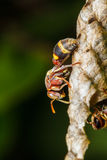 Wasp builds a nest Stock Images