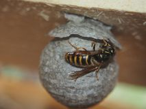 The wasp builds a spherical nest. Dangerous insect. Animal, nature, hive, wild, colony, closeup, close-up, scientific, natural, hornet, cellulose, toxic royalty free stock photos