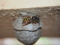 The wasp builds a spherical nest. Dangerous insect. Animal, nature, hive, wild, colony, closeup, close-up, scientific, natural, hornet, cellulose, toxic royalty free stock image