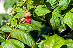 Wasp and the bush of raspberry in middle summer Stock Image