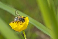 Wasp on buttercup Royalty Free Stock Photos
