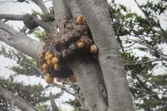 Wasp bygga bo i ett träd arenaceous härligt dimensionellt diagram illustration södra tre för 3d Amerika mycket royaltyfri bild