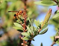 Wasp on callistemon. A waso rests on a callistemon bush Stock Photos