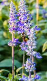 Wasp. Carrying embryos on lavender flower Stock Image