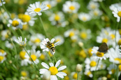 Wasp on chamomile flower. Wasp in the field of chamomile (pollination royalty free stock photos