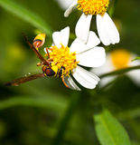 Wasp on the chamomile flower Royalty Free Stock Images