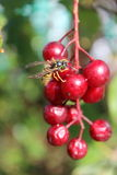 Wasp on cherries brunch 4 Royalty Free Stock Photography