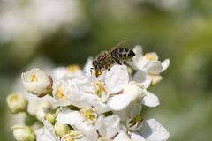 Wasp on cherry flower Stock Photo