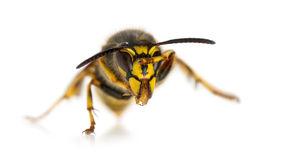 Wasp cleaning itself Royalty Free Stock Image