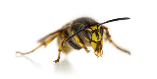 Wasp cleaning itself Stock Photography