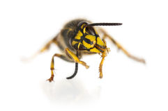Wasp cleaning itself Royalty Free Stock Photo