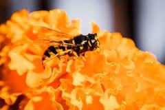 Wasp close up Stock Photos