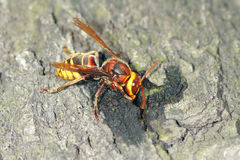 Wasp Stock Photo