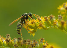 Wasp close up Royalty Free Stock Image