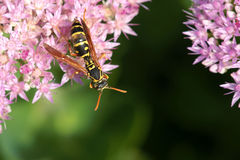 Wasp. The close-up of a wasp on pink flowers Royalty Free Stock Images