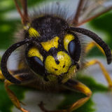 Wasp close-up portrait. On a background of green leaves Stock Image