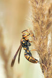 Wasp. The close-up of a wasp on reed inflorescence Royalty Free Stock Photo
