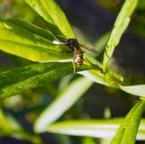 Wasp closeup på grönt gräs Royaltyfri Foto