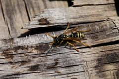 Wasp closeup on wooden background Royalty Free Stock Photos