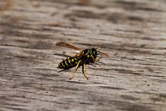 Wasp closeup on wooden background Stock Photography