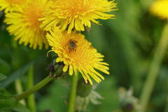 Wasp collecting nectar on dandelios Royalty Free Stock Photos