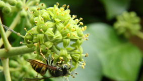 Wasp collecting nectar and pollen stock footage