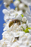 Wasp Collecting Pollen Stock Photography
