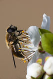 Wasp collecting pollen from blossom Stock Image