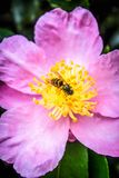 A Wasp collecting pollen from a camellia flower royalty free stock photos