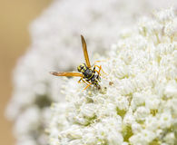 Wasp collecting some plant pollen Stock Photography