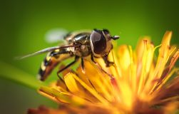 Wasp collects nectar from flower crepis alpina. Wasp collects nectar from flower crepis Stock Photo