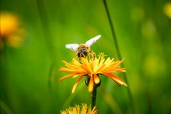 Wasp collects nectar from flower crepis alpina. Macro Royalty Free Stock Photos