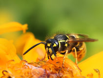 Wasp in colorful summer flower Royalty Free Stock Image