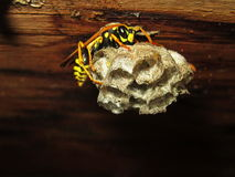 Wasp and comb. Photography of wasp making comb Royalty Free Stock Images