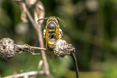Wasp coming out from cocoon Stock Photography