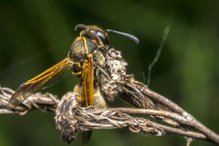 Wasp coming out from cocoon Royalty Free Stock Image