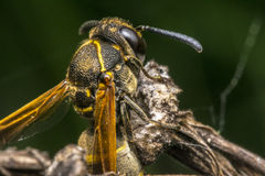 Wasp coming out from cocoon Royalty Free Stock Photo