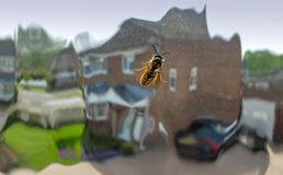 Wasp crawling over inside of a window pane,England,United Kingdom stock images